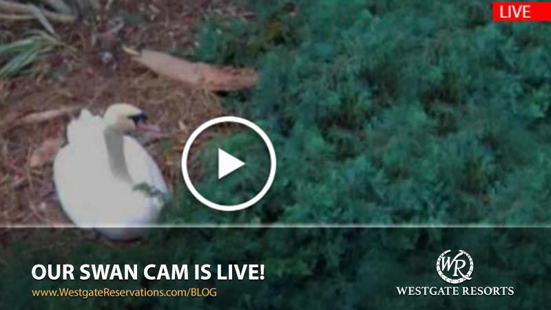 Westgate Resorts Swan Cam