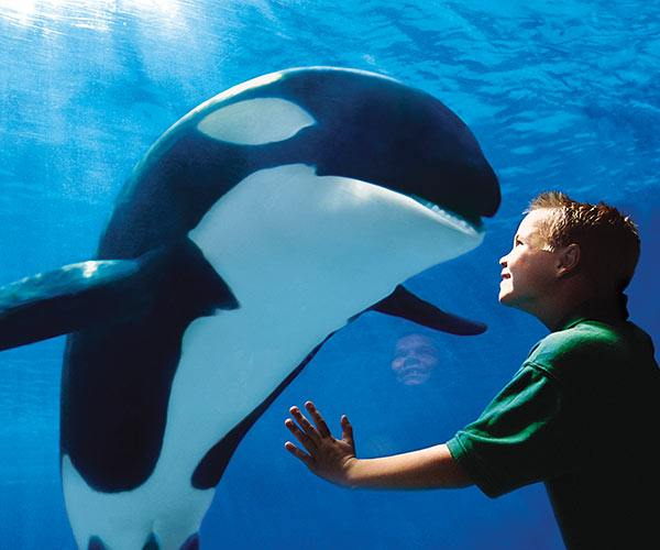 Close Encounter with an Orka Whale at SeaWorld Orlando | Orlando SeaWorld Vacation